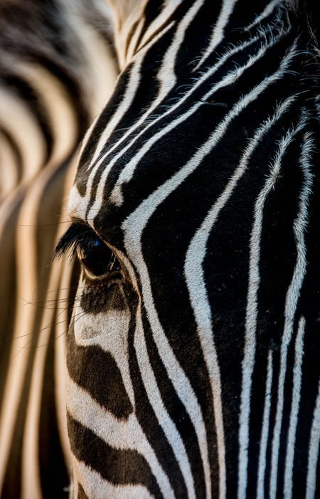The Zebra Photo by Julian John -- National Geographic Your Shot