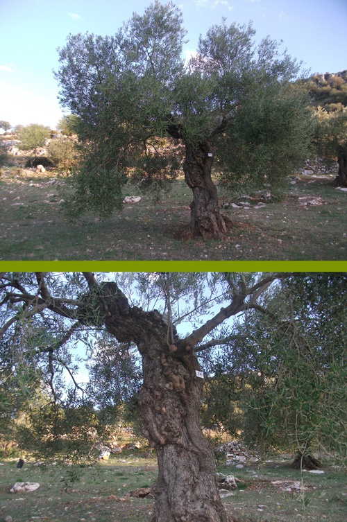 Regalo original y especial - Original and special giftOriginals Gifts, Special Gift, Olive Trees