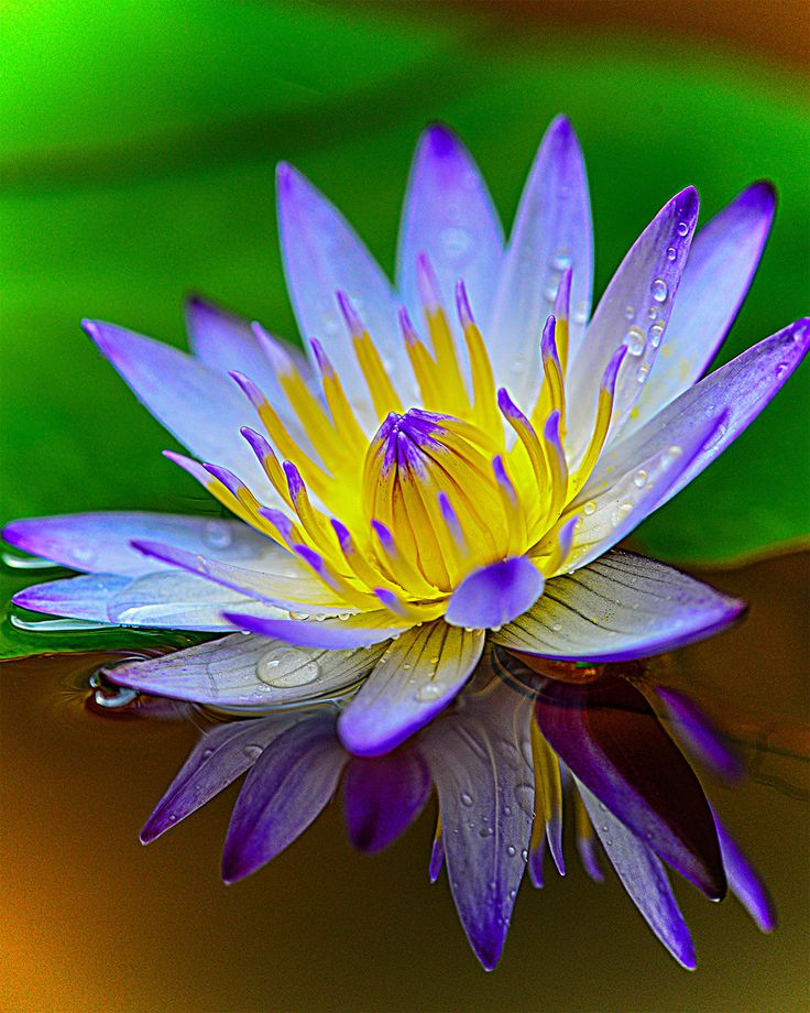 Water Lily...https://www.fiverr.com/healthy_guru