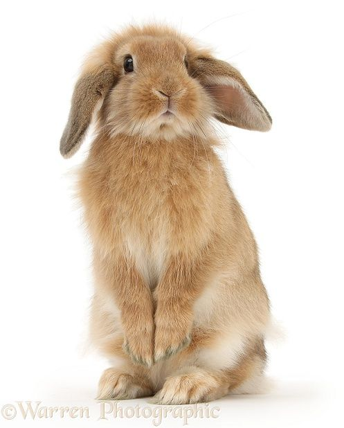 Sandy Lop rabbit standing up on haunches