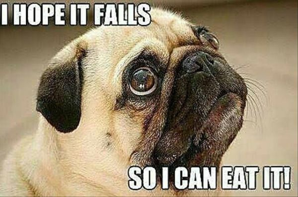 22 Funny Animal Pictures Of The Day Pugs Cute Pugs Pug Quotes