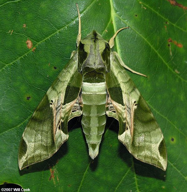 Pandora Sphinx Moth  Meg's sister Alexa Joan saw one and posted a photo.  Now I must figure out the best way to incorporate this into one of my knitting projects.