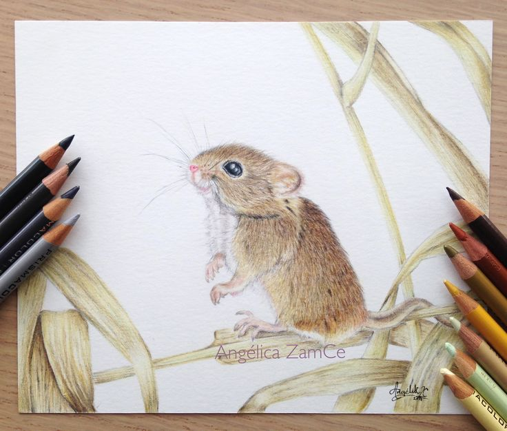 Raton. Ratón de campo en lápices de colores. Mouse illustration in colored pencils.