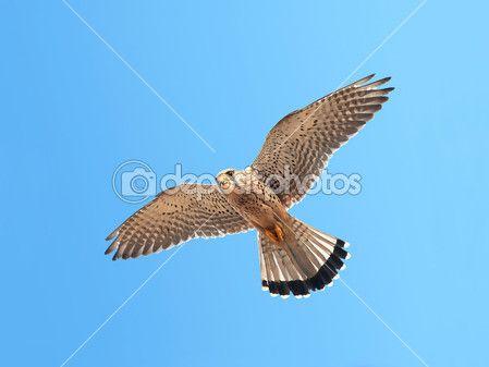 Common Kestrel (Falco tinnunculus) — Stock Photo © DennisJacobsen #51539909