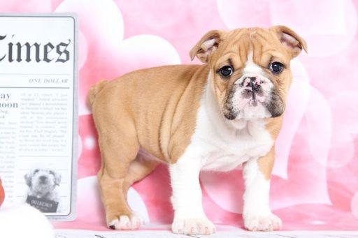 Bulldog Puppy For Sale In Bel Air Md Adn 65979 On Puppyfinder
