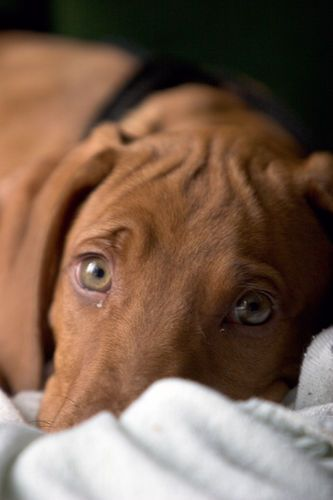 ☀Ridgeback puppy ~ Conway 3 by automat on Flickr (cc)*