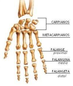 Sistema Oseo Medicina Anatomia Humana Huesos Anatomia Y