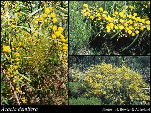 Photo of Acacia dentifera Benth.