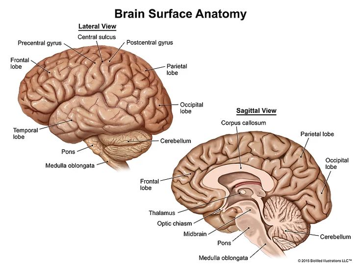 BioMed Illustrations LLC™ offers brain anatomy medical illustration exhibits for jury trials and demand packages for settlements.