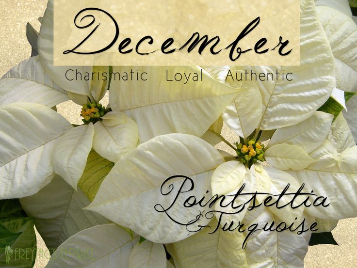december birthday flower - 736×553