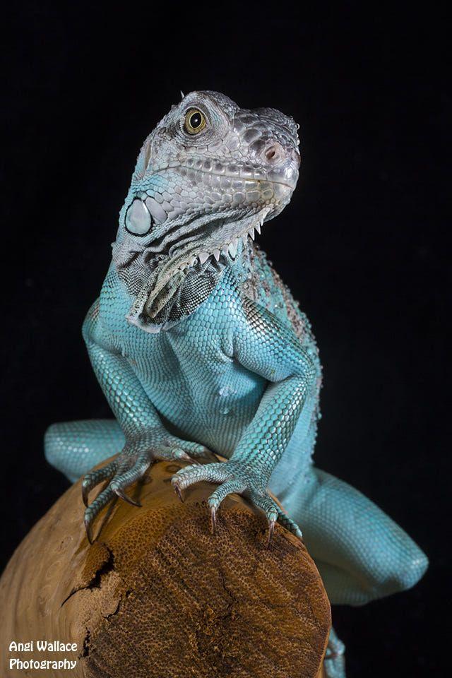 Blue Iguana by Angi Wallace