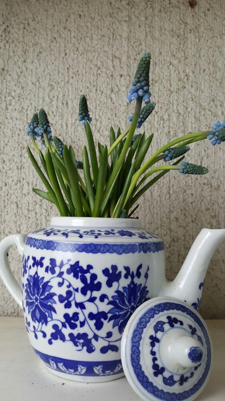 Viileässä viihtyvä helmililja koristaa teepannua parvekkeella. #sinivalkoista #parveke #kevätkukkijat