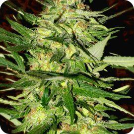 Blue Rhino - strain - Positronic Seeds | Cannapedia