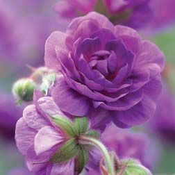 Hardy Geranium plenum 'Violaceum' - Double Flowering Hardy Geraniums - The Vernon Geranium Nursery
