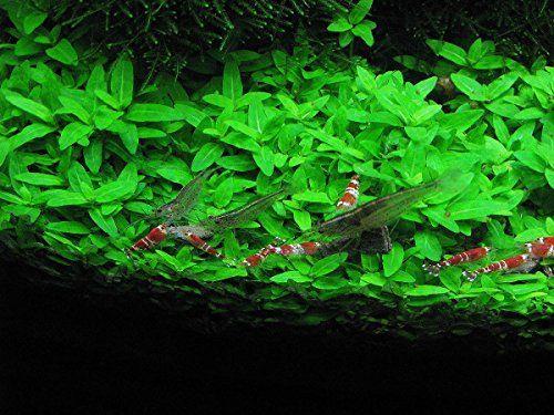 AquariumPlantsFactory - Staurogyne Repens Freshwater Live Aquarium Plants BUY2GET1FREE - http://www.balanced4u.net/crittercare/aquariumplantsfactory-staurogyne-repens-freshwater-live-aquarium-plants-buy2get1free/