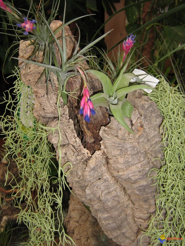 tillandsias usneoides 39 fille de l 39 air 39 et tillansia tillandsia pinterest plants. Black Bedroom Furniture Sets. Home Design Ideas