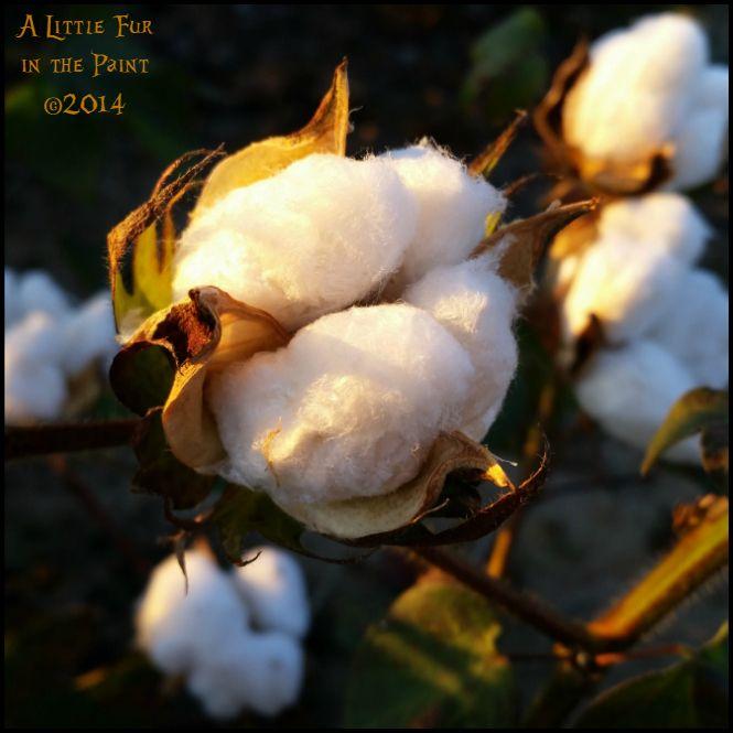 Cotton Boll ~ A Little Fur in the Paint www.alittlefurinthepaint.blogspot.com