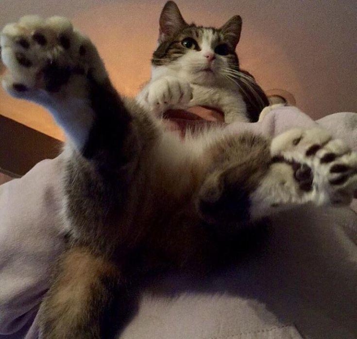 Nachdem ich das entzückende 24-Zehen-Kätzchen gesehen hatte, musste ich meine entzückende 29-Zehen-Katze teilen …   – Dogs Are Awsome