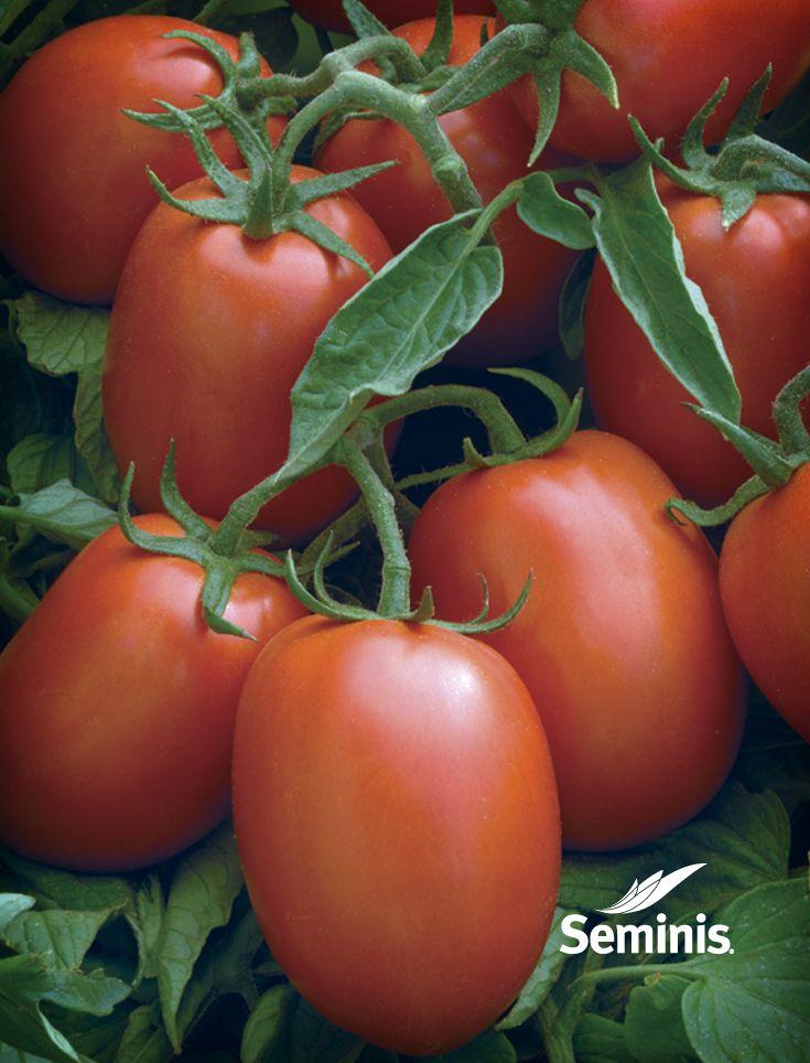 Una muestra de los tomates saladette Seminis.