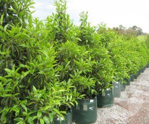 Ficus microcarpa hillii 'Flash' / Library − Speciality Trees