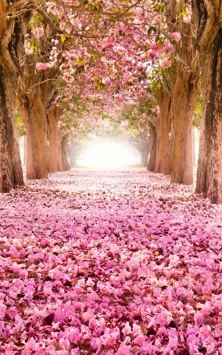 Pink Trumpet Tunnel (Tabebuia rosea) blossom in Nakhon Pathom, Thailand.