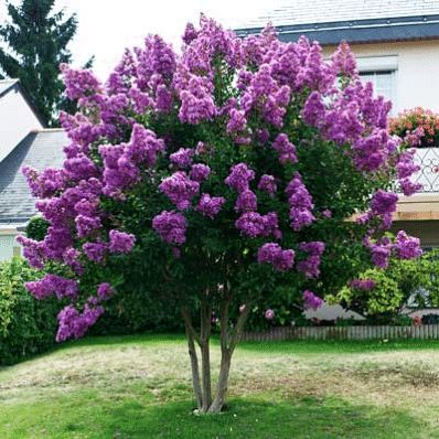 Huge, Vibrant Purple Blooms for Months! - • The most sought after purple color for crape myrtles • grows to a manageable height of just 10-15 ft.  • vibrant blooms last all summer- up to 120 days!  These Flowers Attract Attention  You get tons of color from your Catawba Crape Myrtle. You'll enjoy vibrant, dark purple...