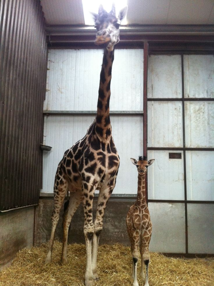 Cuileann (Irish for Holly) the newest  Rothschild Giraffe with her mother Roisin at Fota Wildlife Park