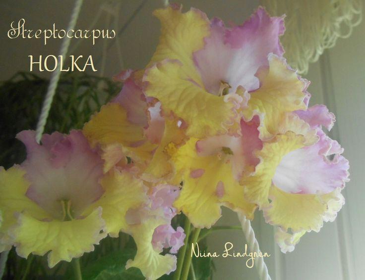 Streptocarpus Holka
