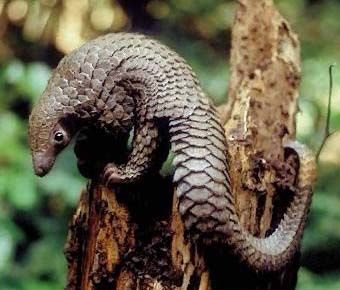 pangolin- the highest poached endangered animal in the world