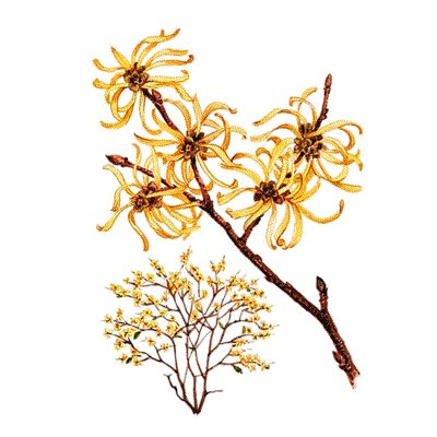 Pretty  Images About For The Garden On Pinterest With Fetching Hamamelis Virginiana With Easy On The Eye St Lucia Botanical Gardens Also Recycled Container Gardening Ideas In Addition Jade Garden Soho And Tickets For Kew Gardens As Well As French Formal Garden Additionally Zen Garden Mk From Pinterestcom With   Fetching  Images About For The Garden On Pinterest With Easy On The Eye Hamamelis Virginiana And Pretty St Lucia Botanical Gardens Also Recycled Container Gardening Ideas In Addition Jade Garden Soho From Pinterestcom