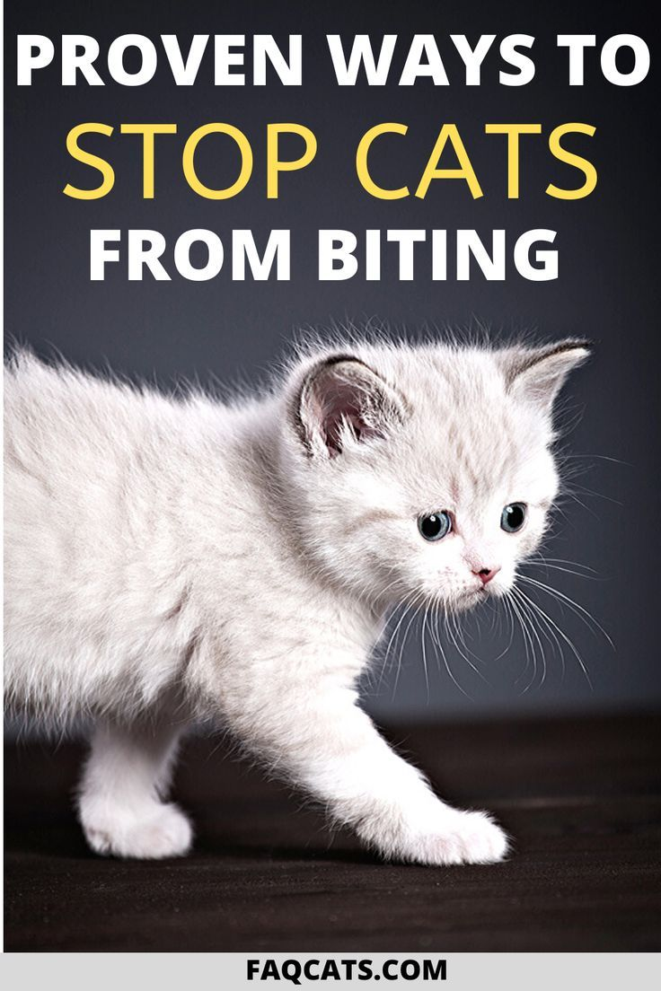 How To Stop Cats From Biting In 2020 Cat Biting Cats Siamese Cats