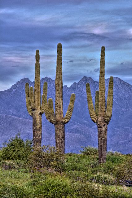 Four Peaks Three Saguaros - Paul Gill