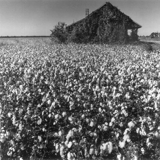 Cotton in the Delta