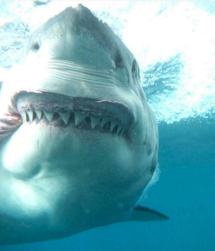 "Suarez The Shark ➖➖➖➖➖➖➖➖➖➖➖➖➖➖➖➖ © @calypsostarcharters ➖➖➖➖➖➖➖➖➖➖➖➖➖➖➖➖ #sharks #shark #whiteshark #finfree…"""