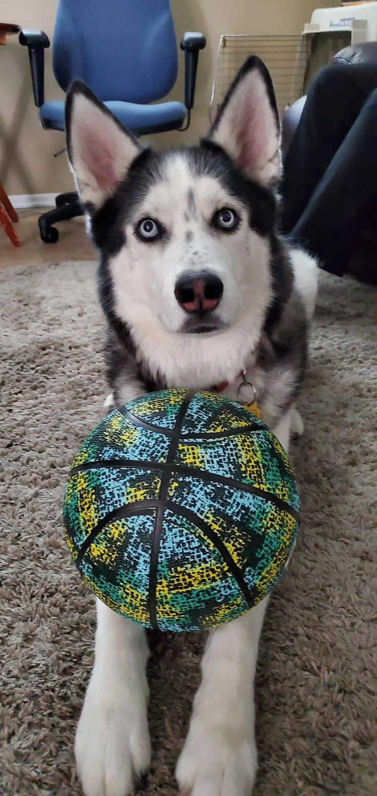 Husky Mix Breed Dogs | Puppies with blue eyes, Cute husky ...