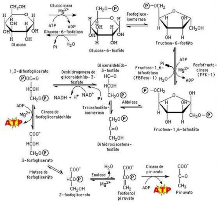 8 best bioqumica fosiologa images on pinterest metabolism cell metabolismo de carbohidratos acadmica ccuart Image collections