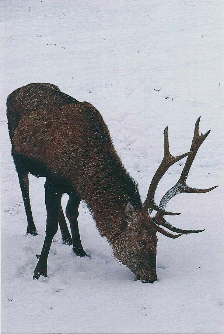 """Er war der bekannteste und beliebteste Rothirsch in der Wildfütterung im Klausbachtal. Manche nannten ihn """"Methusalem"""", andere tauften ihn """"Hansi"""" oder """"Hinkebein"""". Vor rund zehn Tagen starb der 18 Jahre alte Rothirsch in der Wildfütterung im Nationalpark Berchtesgaden an Altersschwäche. Das Bild zeigt ihn wenigen Tage vor seinem Tod."""
