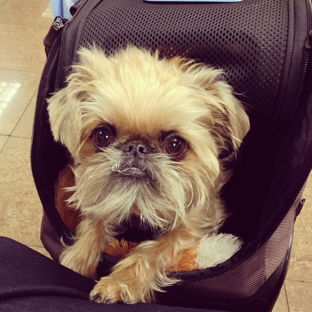 #brusselsgriffon - @Stacy Stone- #webstagram