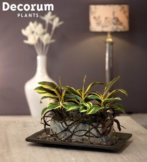 New! Cordyline Chocolate Queen   #Decorum Innovation of 2013   Grower: Duynplant