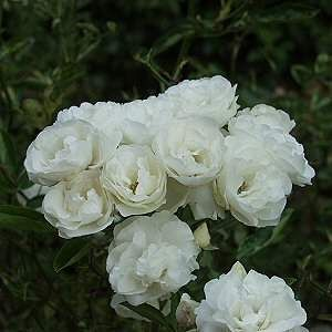 Iceberg Rose - rapid grower, blooms from spring to fall, double white flowers, disease resistant, full sun, planted 5/2011