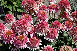 Click to view full-size photo of Butterfly Kisses Echinacea (Echinacea purpurea 'Butterfly Kisses') at Bachman's Landscaping
