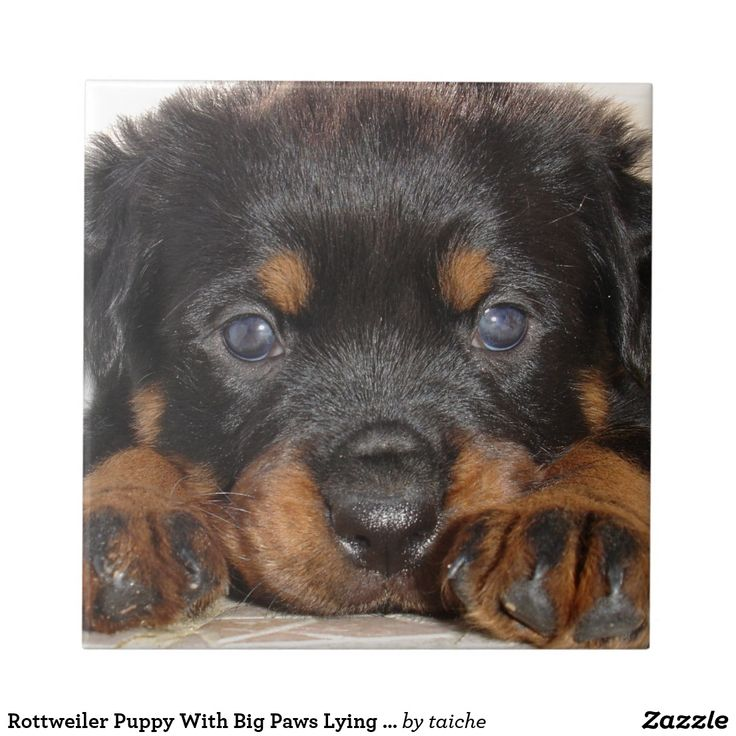 Rottweiler Puppy With Big Paws Lying Down Tile by taiche ~ #S6GTP ~