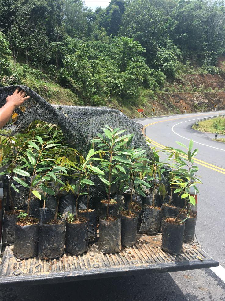 ทุเรียนสายพันธุ์ มาวซานหวัง 猫山王 หรือมูซานคิง **รสชาติ เนื้อเหนียว มัน หวาน กิโลล่ะ500บาท** ที่สวน อ.ธารโต จ.ยะลา Line: Piroontip http://line.me/ti/p/m2JqtZKmng #durian @durian @ทุเรียน #ทุเรียน