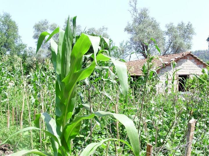 Corn growing in garden - Turkey