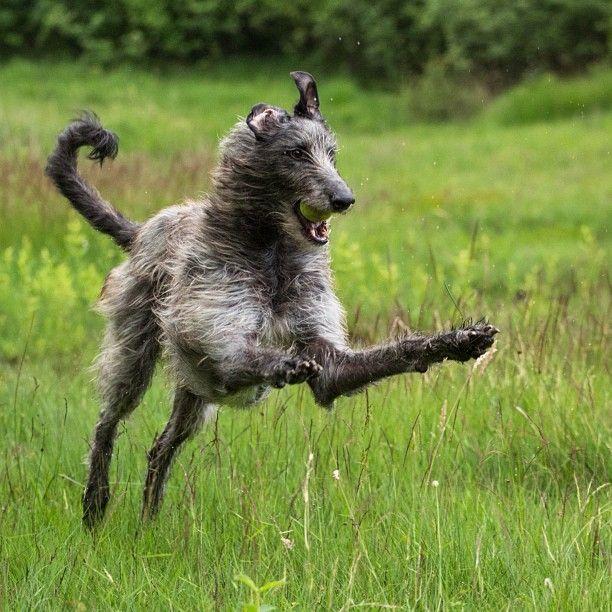 Scottish Deerhound plays in the field.