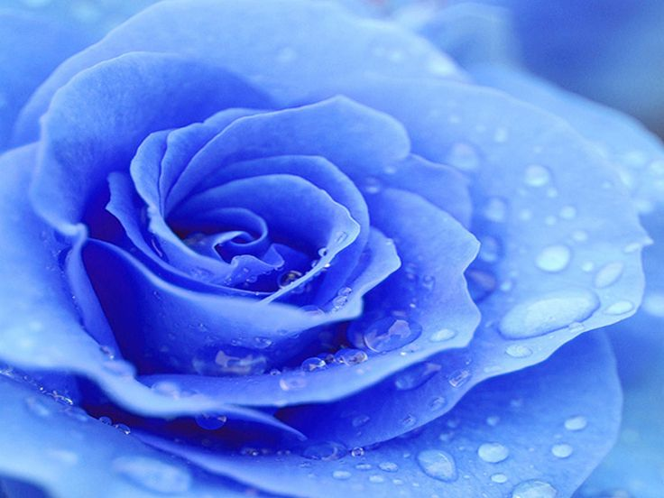 Raindrops On A Beautiful Blue Rose