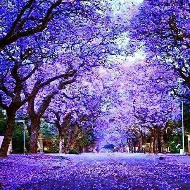 Jacaranda trees Pretoria South Africa  Hermosuras