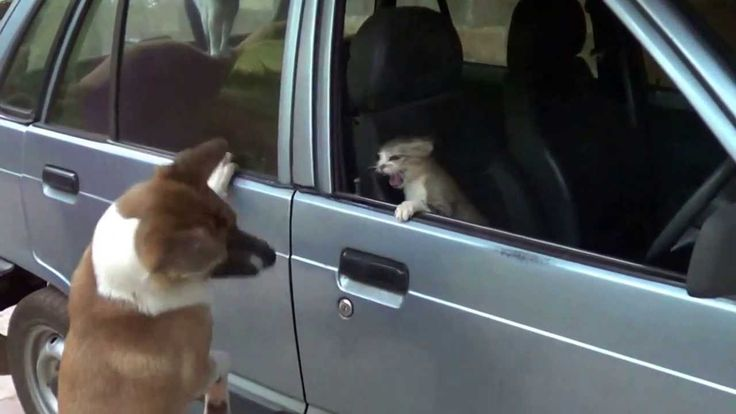 Cat attacks dog from the car