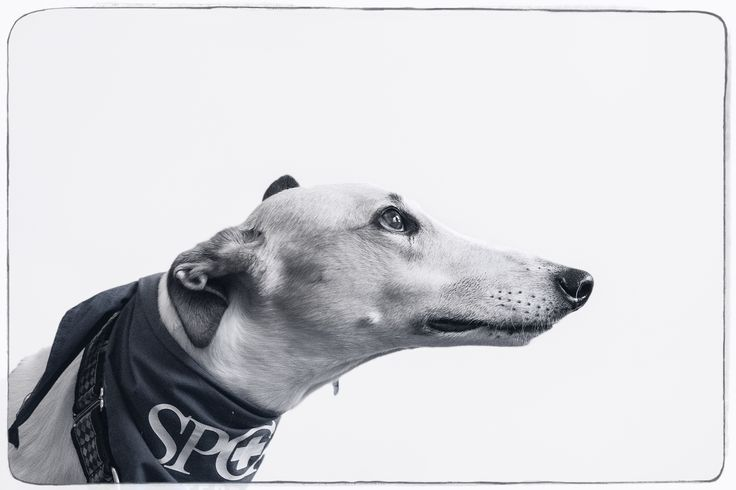 This special boy is part of the spca educational team.  Photo by Portrait photographer Emma Steel