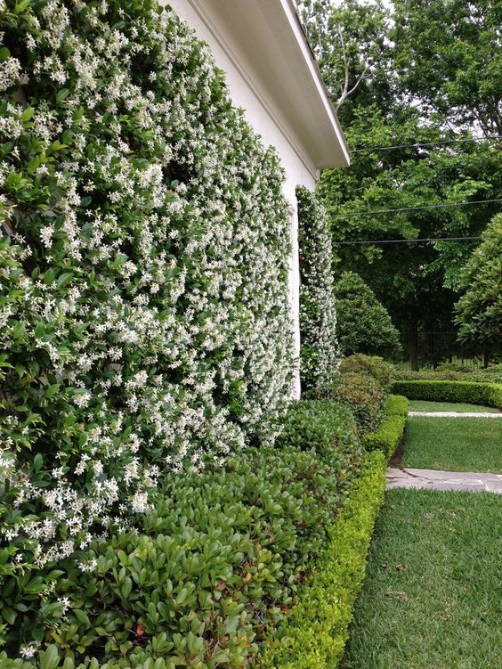 star jasmine creeper covering wall.